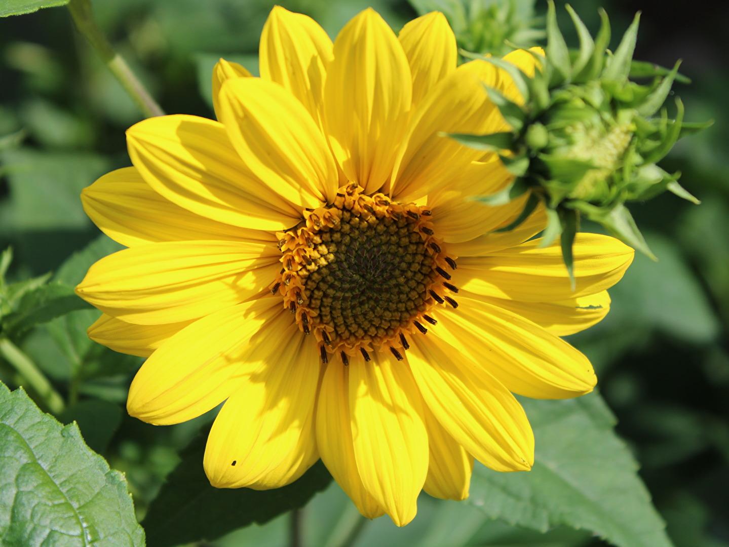 Sonnenblume ?