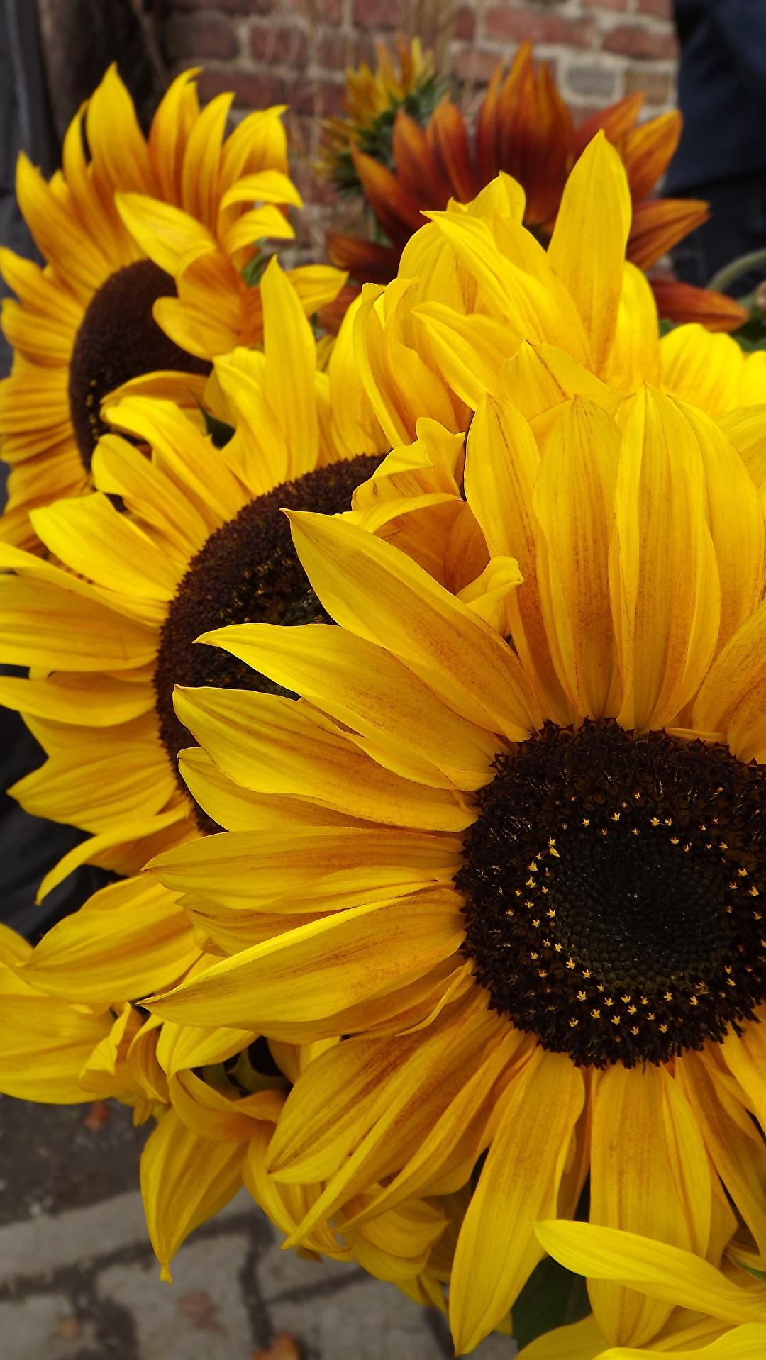 3 Sonnenblumen