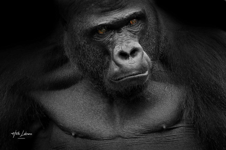 Gorilla (Gorilla)