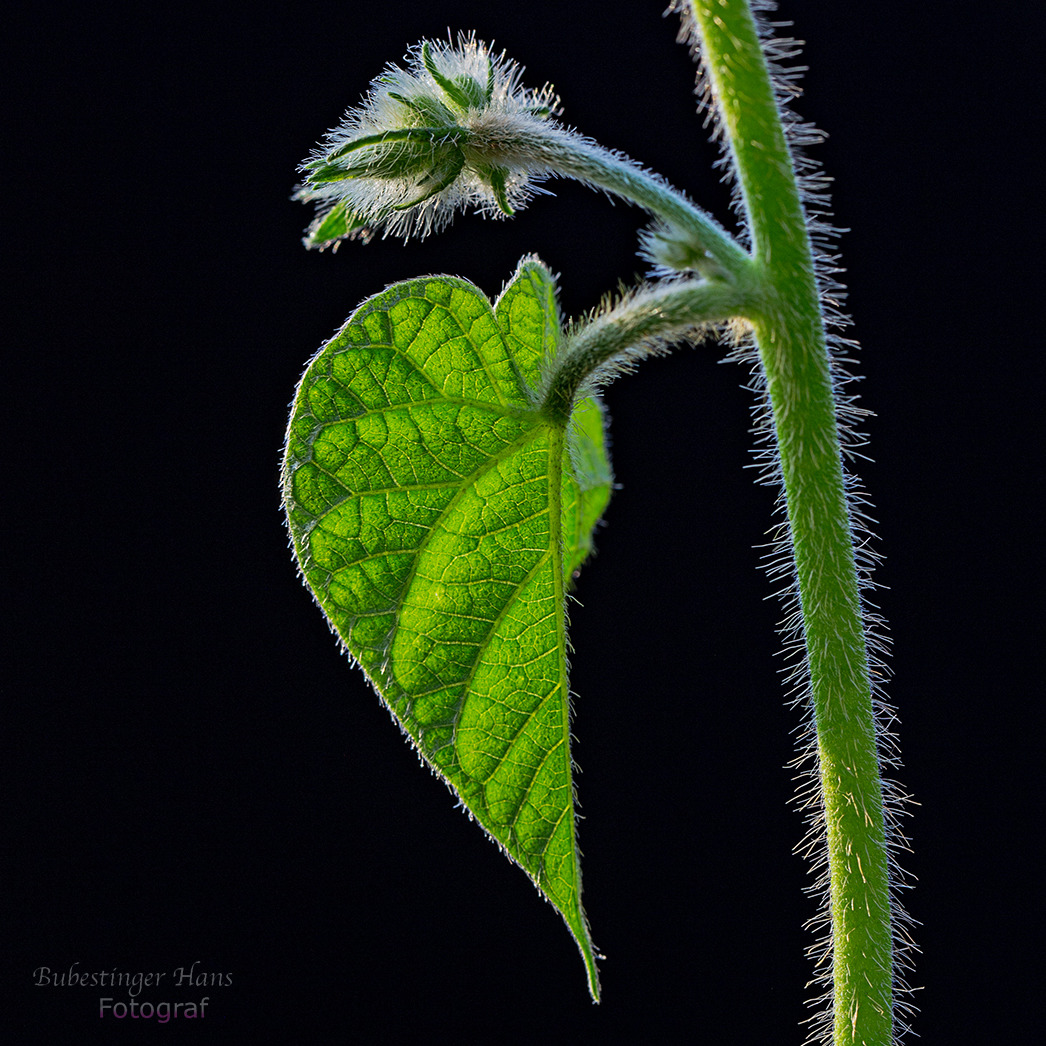 Trichterblume