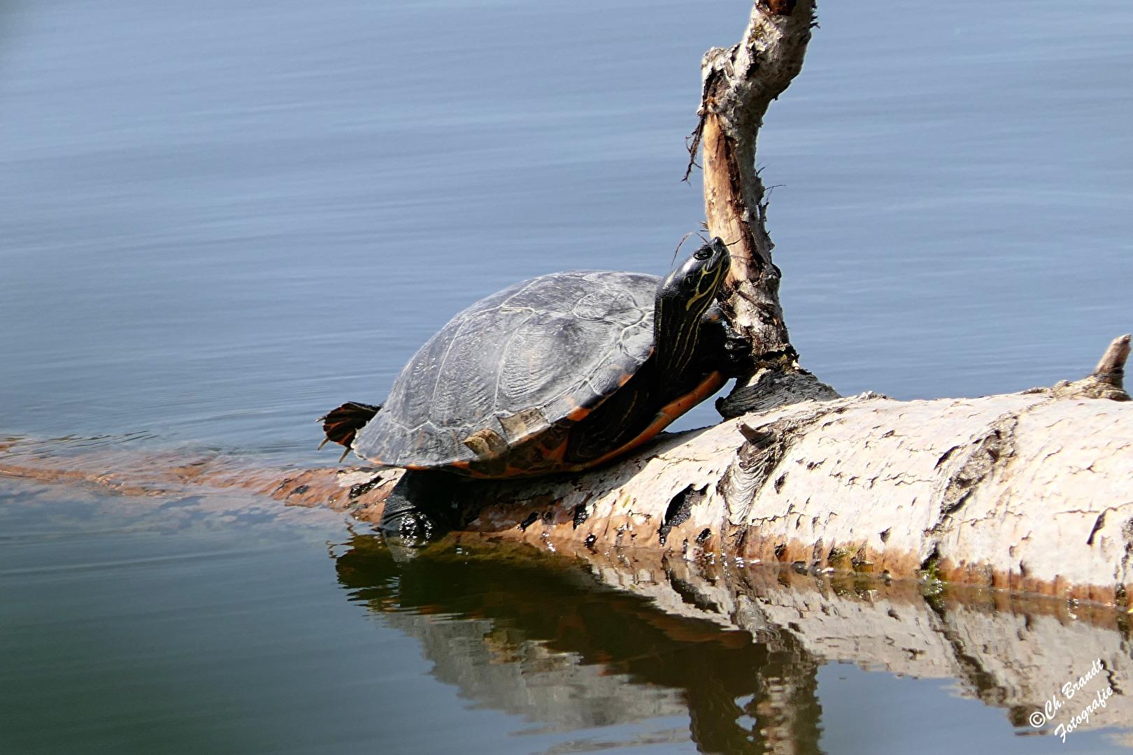 Schildkröte!