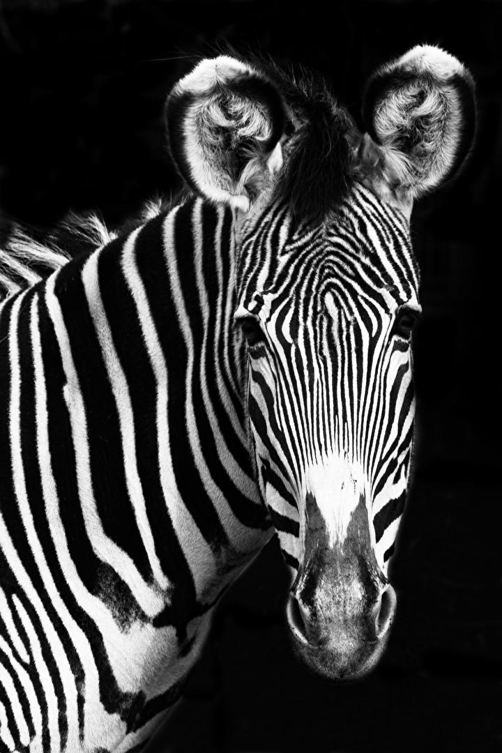 Zebra... Versuch 2