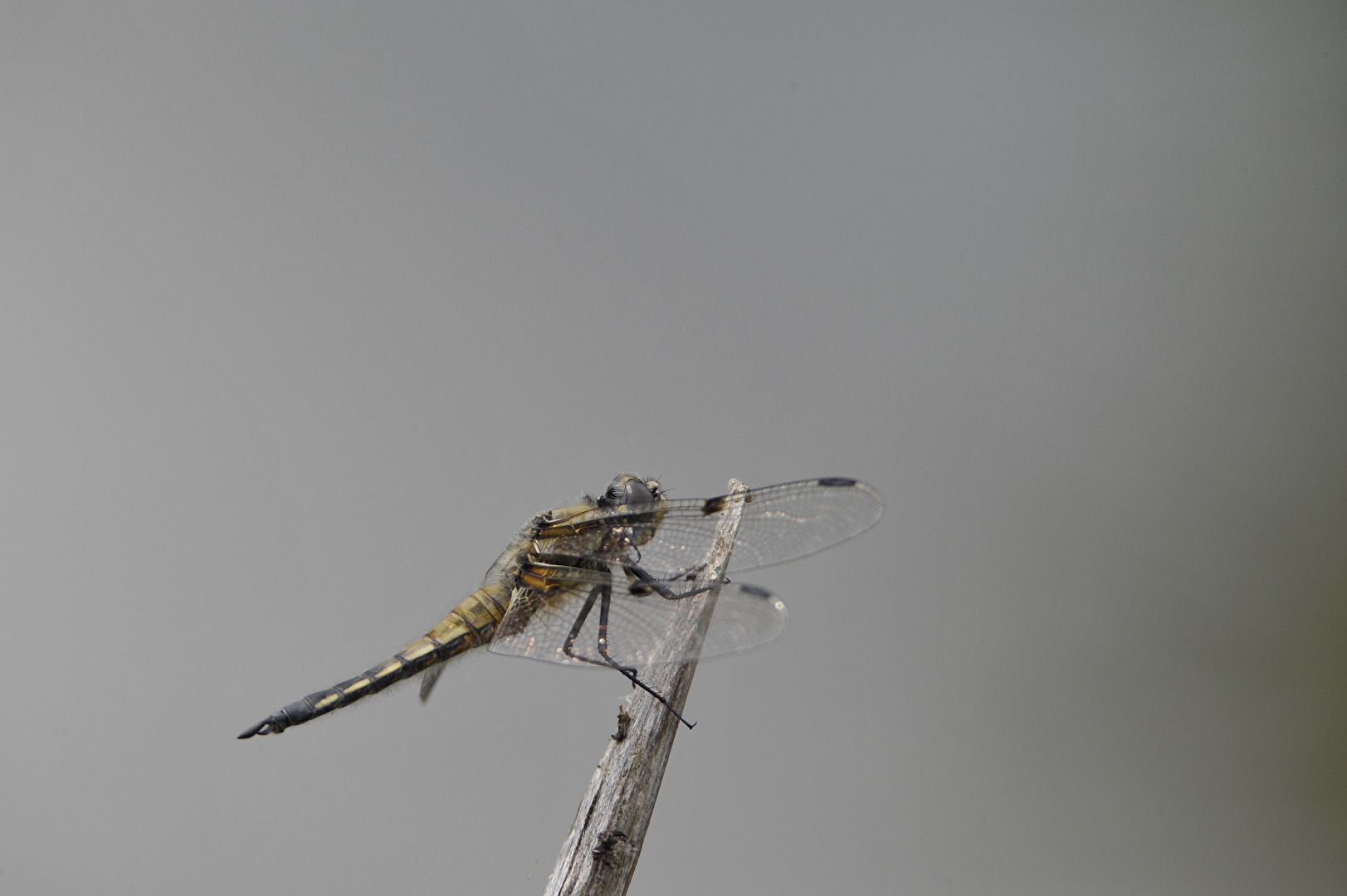 Grosslibelle im Profil
